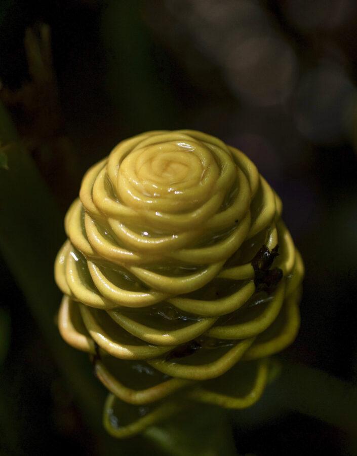 gengibre ornamental acervo jardim botânico Inhotim