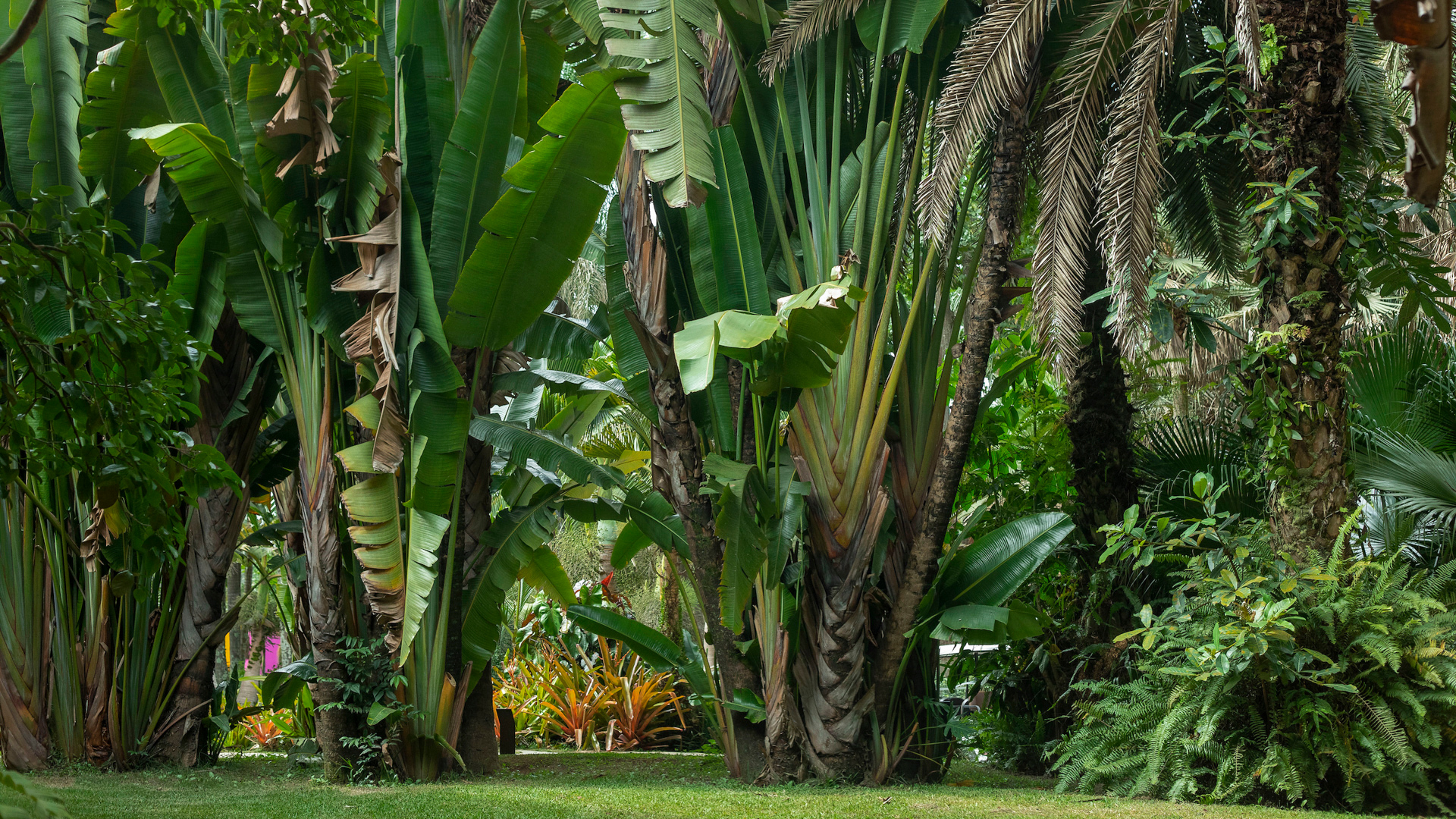 Árvore-do-viajante Inhotim