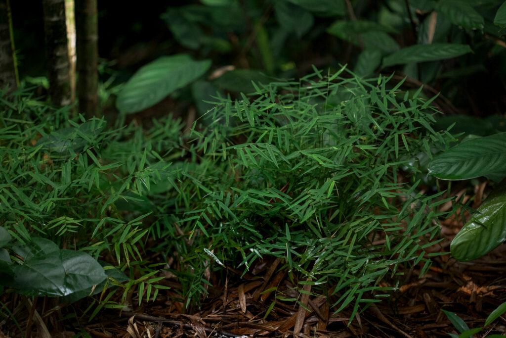 Bambuzinho Inhotim