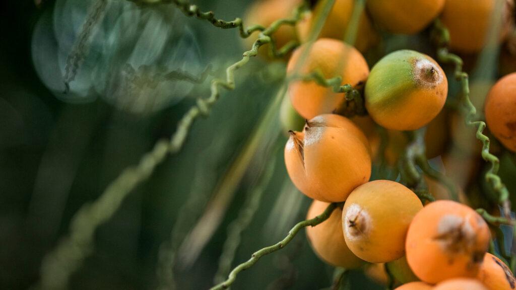 Coco-de-pedra Inhotim