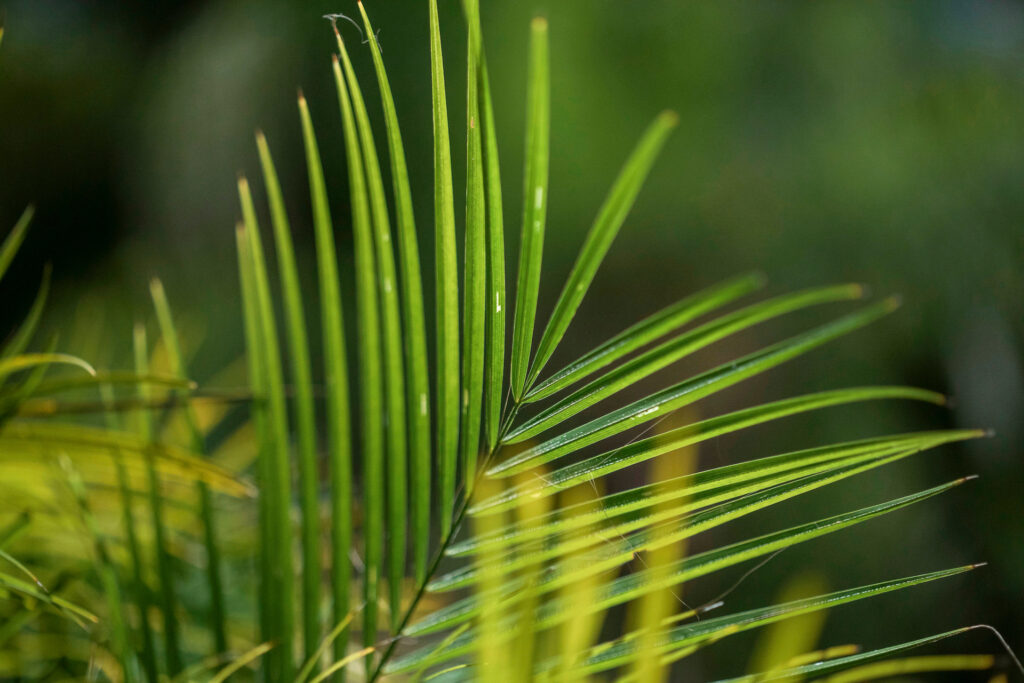 Palmeira-anã Inhotim