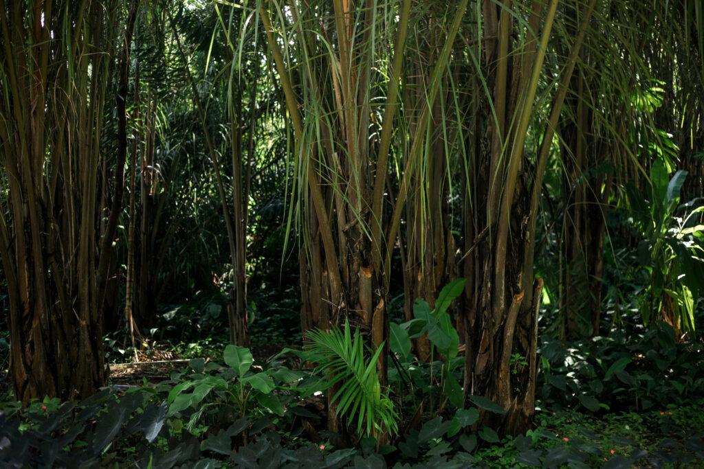 Palmeira-ráfia Inhotim