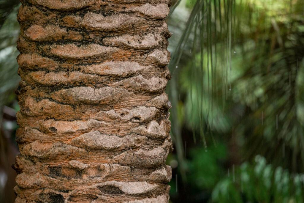 Tamareira-das-canárias Inhotim
